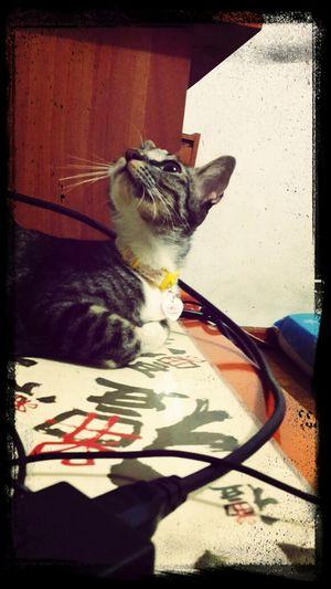 Pet Photography  Mycat Cat