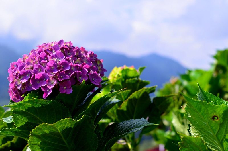 freshness of flowers Green Leaves Green Nature Natural Beautiful Leaves Backgrounds Flower Head Flower Leaf Purple Mountain Close-up Sky Plant Green Color Lilac Inflorescence Colored Delicate Purple Color Lantana Lantana Camara Wisteria Flowering Plant In Bloom Plant Life Blossom Botany Stamen Hydrangea Petal Blooming