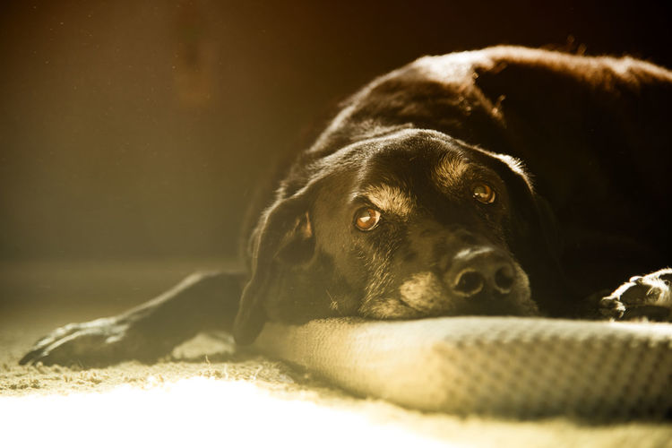 My boy, snoozing in the mid afternoon sunlight. It's what he prefers to do these days Shot with Nikon D810, f4, 1/50s, ISO 800 Black Lab Bringing Joy EyeEm Ready   EyeEmReady Labrador Making My Life Happy My Dog Is Cooler Than Your Kid. Napping Nikon D810 Black Labrador Dog Dog Love Dog Model Lazy Sunday Napping Dog No People