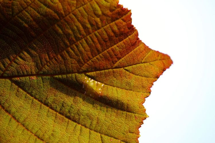 Close-up of autumnal leaves against white background