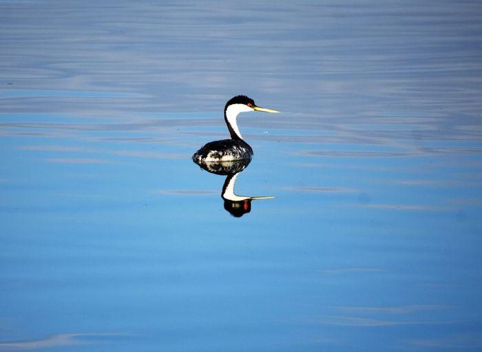 Western Grebe Animal Neck Animals In The Wild Bird Blue Freshwater Bird Grebe Lake No People One Animal Reflection Swimming