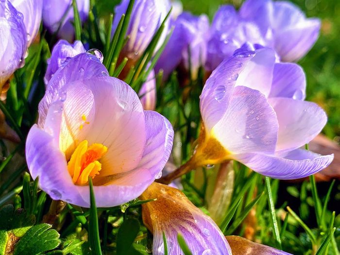 Flowering Plant Flower Plant Petal Fragility Vulnerability  Freshness Growth Beauty In Nature Close-up Inflorescence Flower Head Nature Purple Day No People Focus On Foreground Land Field Springtime Iris Pollen Outdoors Crocus