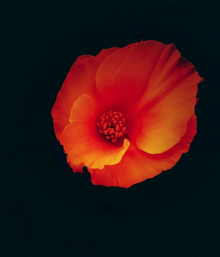 Beauty In Nature Black Background Blooming California State Flower Close-up Day FireyGlow Flower Flower Head Fragility Freshness Nature No People Orange Color Outdoors Petal Poppy Pristine Red Studio Shot