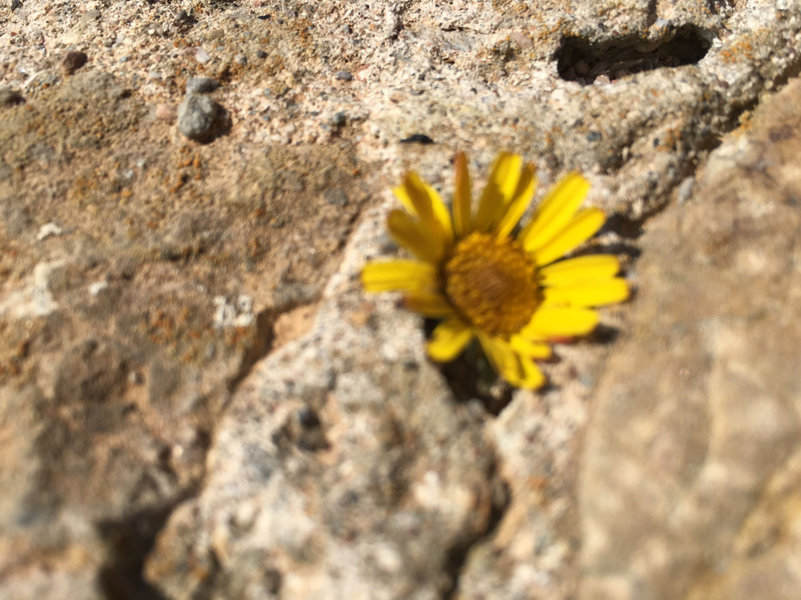 flower, yellow, petal, fragility, nature, freshness, flower head, close-up, beauty in nature, growth, textured, rock - object, single flower, selective focus, pollen, high angle view, day, outdoors, plant, no people