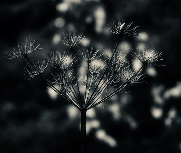 Autumn black and white Autumn Blackandwhite B Plant Focus On Foreground Growth Beauty In Nature Flower Close-up Nature Flower Head Dandelion