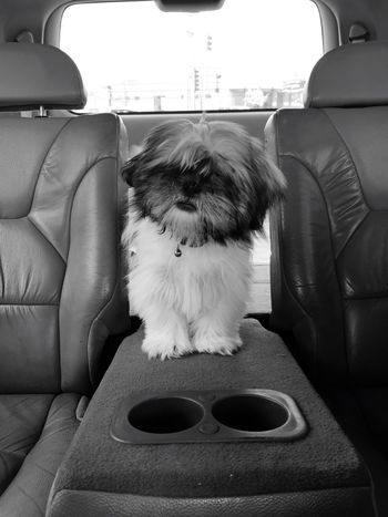 My little Fenmore loves his car rides Pets Car Interior Dogs Of EyeEm ShiTzuForever🐶 Cute Pets Puppy Love Shihtzu Furbaby Furry Friends
