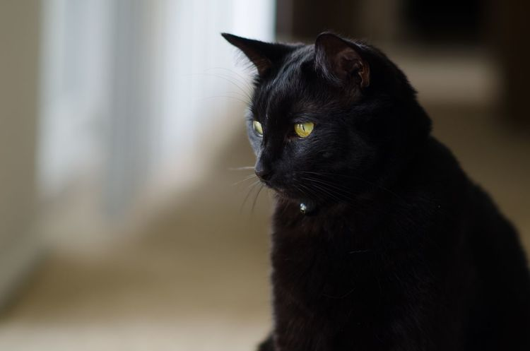 Deep thought BombayCat Black Draco
