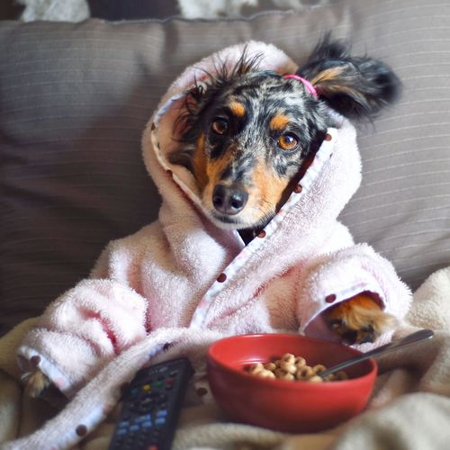 Portrait of cute dog eating food while sitting on sofa at home
