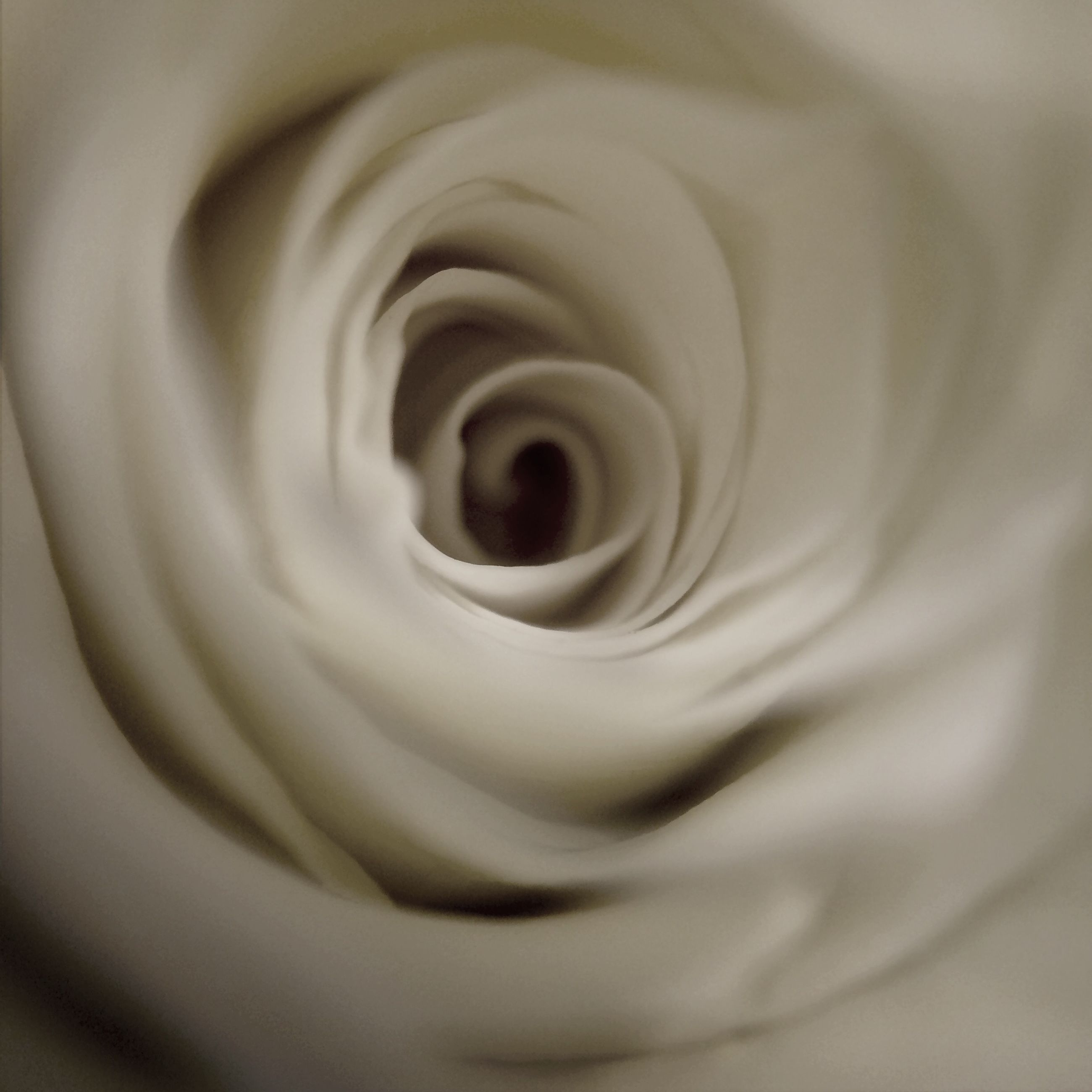 flower, petal, flower head, close-up, fragility, freshness, single flower, white color, beauty in nature, nature, extreme close-up, rose - flower, white, selective focus, indoors, growth, no people, blooming, macro, detail