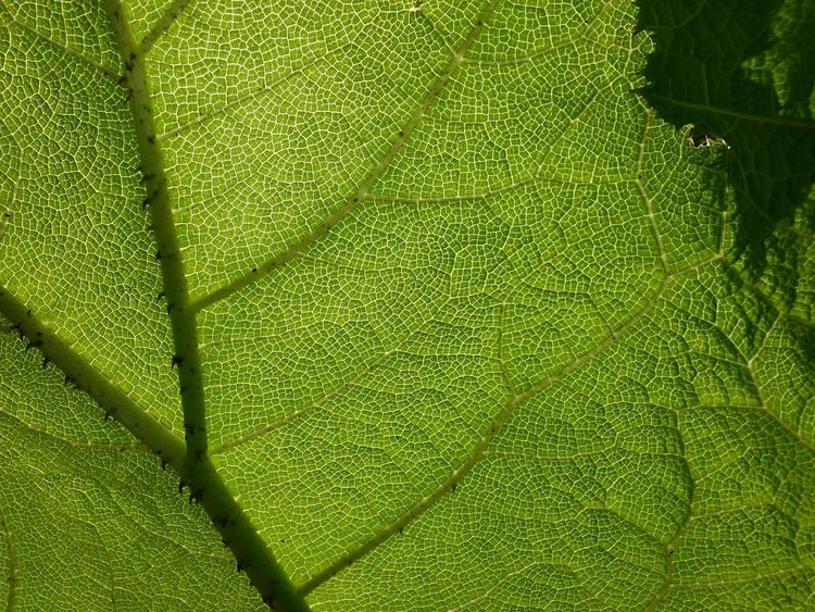 Abstract Backgrounds Beginnings Botany Close-up Cracked Detail Dry Fragility Full Frame Geometry Growing Gunnera Manicata High Angle View Leaf Mammutblatt Natural Pattern New Life No People Pattern Textured  Twig Wet