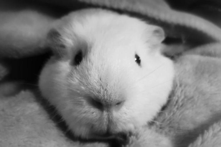 Guineapig Cute Monochrome Pets