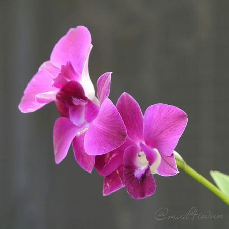 Flower Pink Color Beauty In Nature Fragility Nature Petal Plant Freshness Blossom Flower Head Close-up No People Black Background Growth Orchid Closing Beauty Day Outdoors