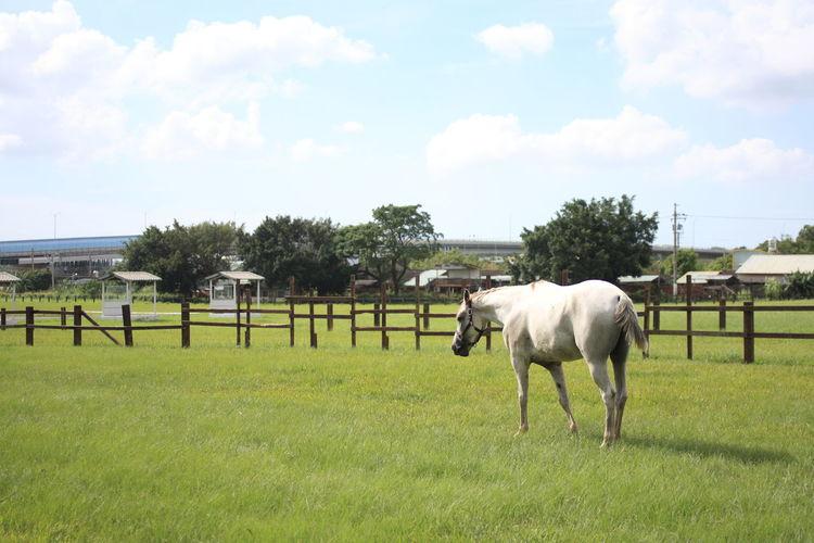 后里馬場After The Horse Field Blue Sky Broad Grasslands Livestock Outdoors Tree White Clouds 牧場