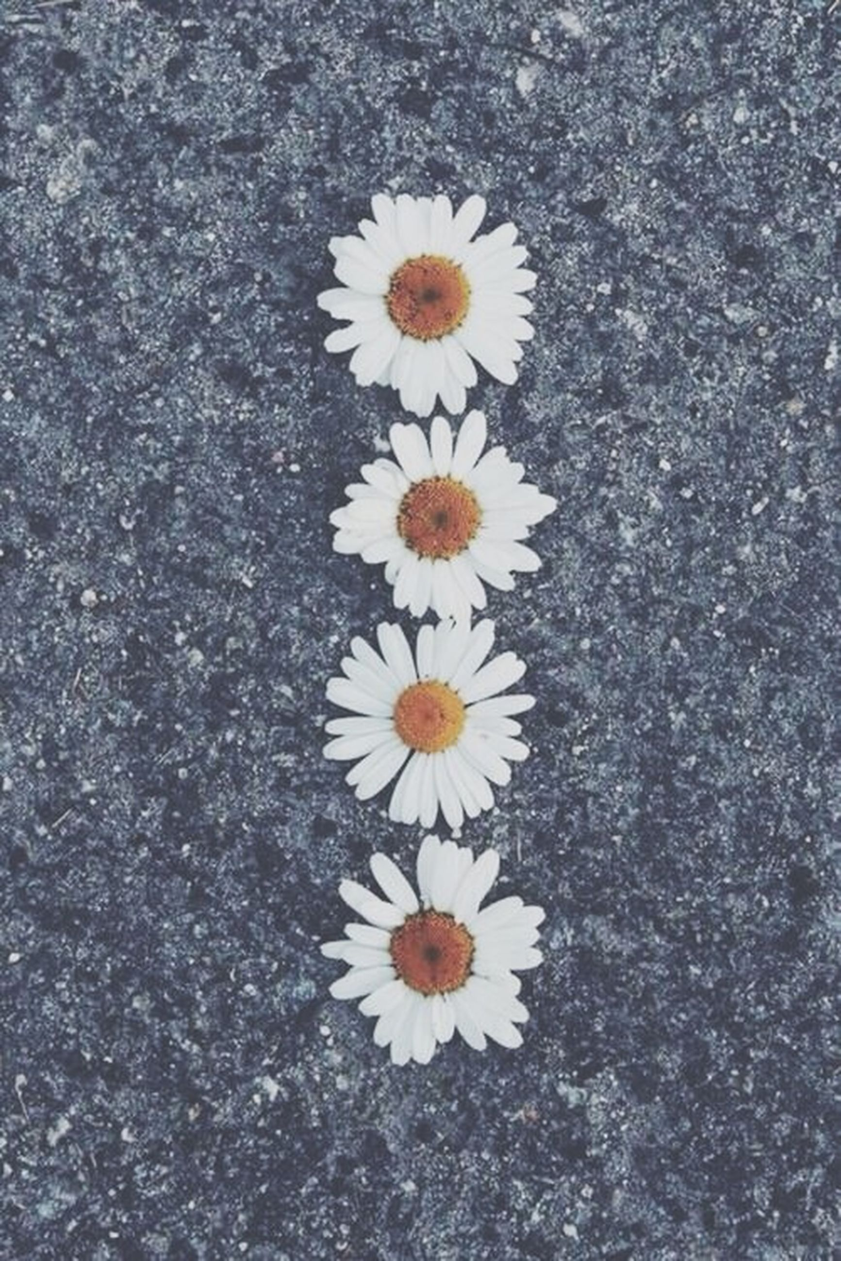 flower, high angle view, fragility, white color, petal, freshness, nature, directly above, flower head, daisy, asphalt, beauty in nature, growth, ground, day, outdoors, field, no people, white, close-up