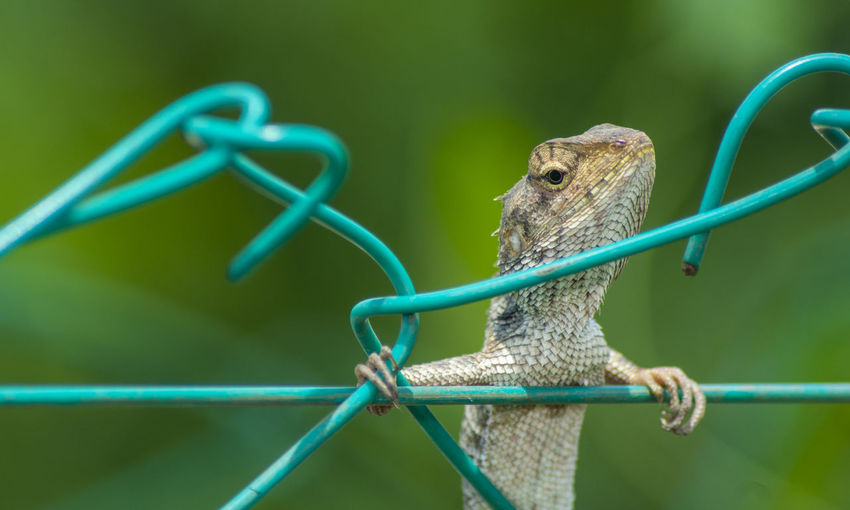 Close-up of lizard on metal fence