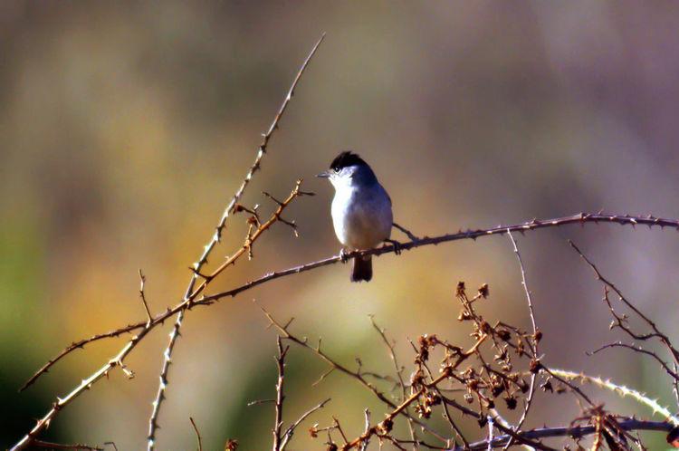 Bird Photography Birdwatching Curruca Capirotada Miami Platja- Tarragona- Tallarol De Casquet Warbler