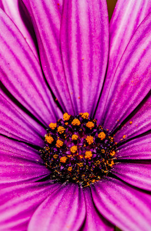 Spring is upon us Beauty In Nature Close-up Day Flower Flower Head Flowering Plant Fragility Freshness Growth Inflorescence Macro Macro Flower Nature No People Osteospermum Outdoors Petal Pink Color Plant Pollen Purple Shepparton Spring Vulnerability