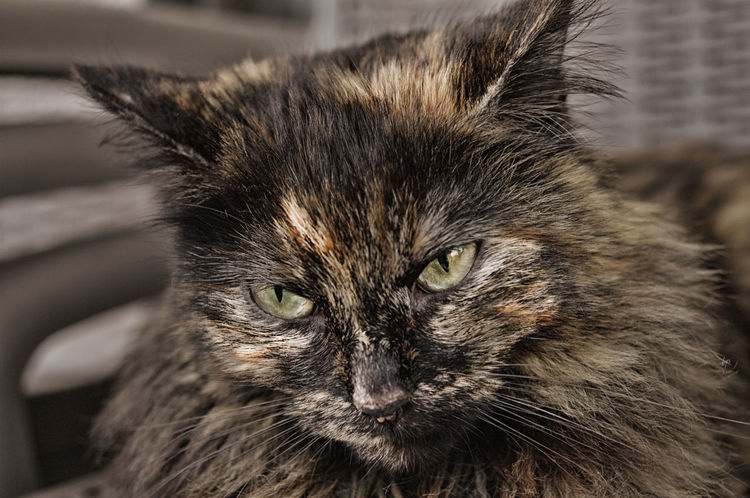 One Animal Domestic Cat Animal Themes Pets Domestic Animals Portrait Looking At Camera Close-up Feline Mammal No People Day Outdoors Nature Chat Chats
