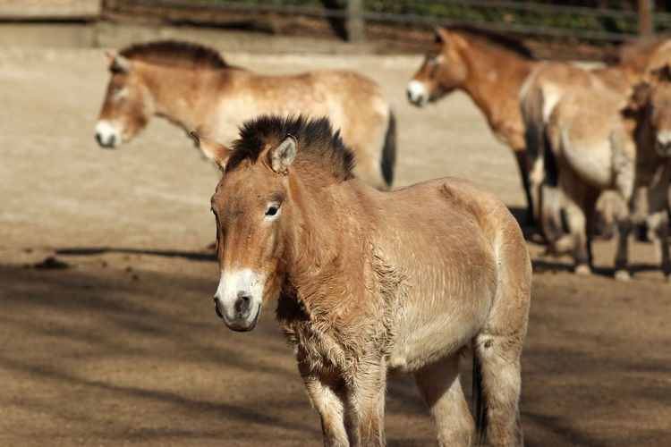 Przewalski horse in a herd Animal Themes Animals In The Wild One Animal Nature Mammal Animal Wildlife No People Outdoors Day Ancient Horse Archetypal Horse Archetypal Brown Stand Mane Upright Mane