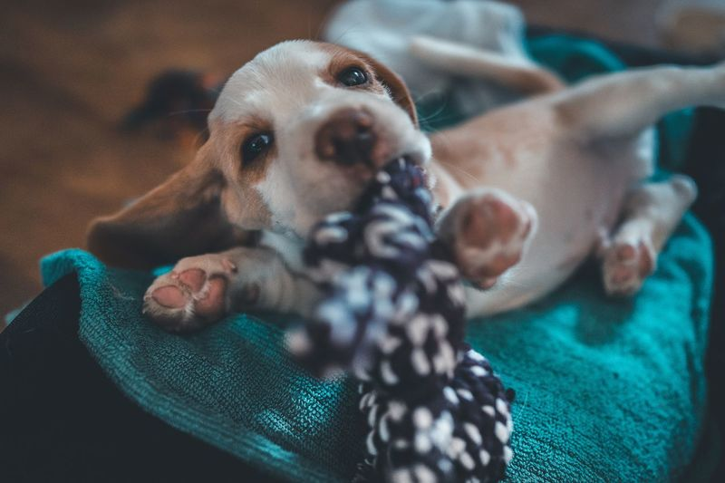 Puppy Happy Playing Cute Pets Pet Puppy Love Puppy Beagle EyeEm Selects Canine Dog One Animal Pets Domestic Animal Themes Animal Domestic Animals Mammal Vertebrate No People Indoors  Portrait Close-up Textile Looking At Camera Toy Cute Focus On Foreground High Angle View