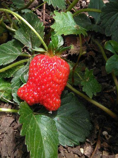 Strawberry My