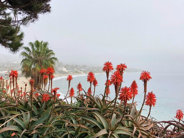 Scenic view Red Flower Flowers Laguna Beach, CA Laguna Beach Framed View Beach View Beachphotography Sea Growth Nature Beauty In Nature Water Flower Beach Day No People Plant Outdoors Red Sky Freshness Scenics Horizon Over Water Fragility Flower Head Close-up