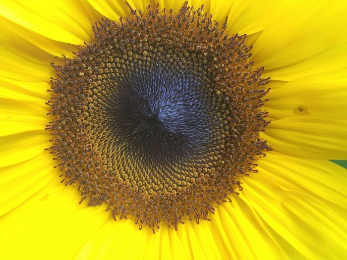 Sunflower Flower Fragility Petal Yellow Sunflower Nature Beauty In Nature Freshness Flower Head Pollen Close-up No People Growth Plant Outdoors Day Sunflower Sunflowers Sunflowers🌻 Flowers Yellow Flower Backgrounds Blooming