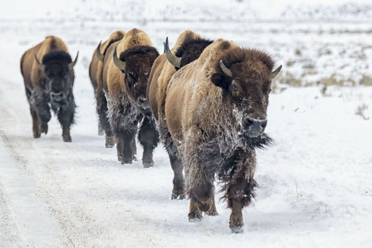 Animals walking on snow