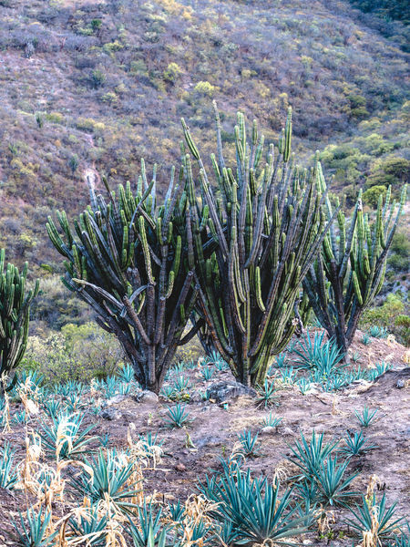 Agave Beauty In Nature Blue Cactus Day Field Grass Growing Growth Idyllic Landscape Mexico Mezcal Nature Nature_collection No People Non-urban Scene Oaxaca Outdoors Plant Scenics Tranquil Scene Tranquility Travel Travel Photography