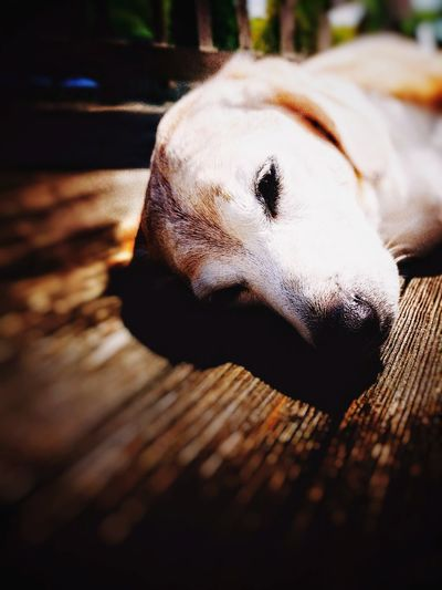 Sunshine Close-up Beaglelovers Old Dogs Rule One Animal Beagles Beagles  No People old Dog Pets Lying Down
