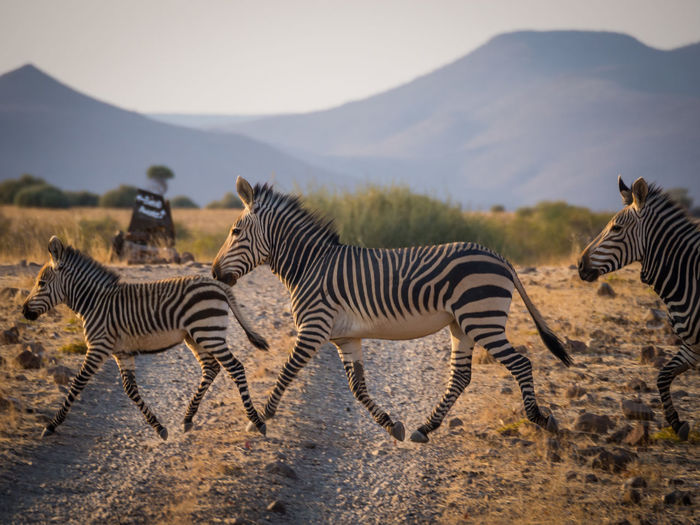 Group of zebras crossing track