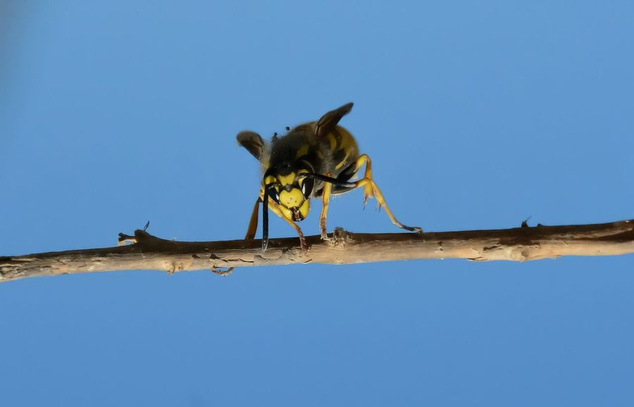 Animal Themes Animal Wildlife Animals In The Wild Ballance Beauty In Nature Bee Clear Sky Day Looking At Me? Nature One Animal Outdoors Sky
