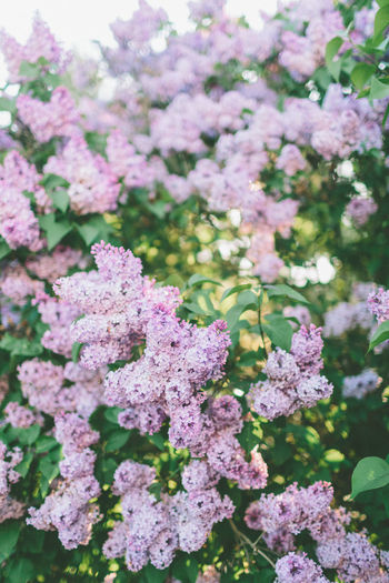 A lilac tree in the summer. Flower Flowering Plant Beauty In Nature Plant Nature No People Purple Lilac Bunch Of Flowers Tree Lilacs