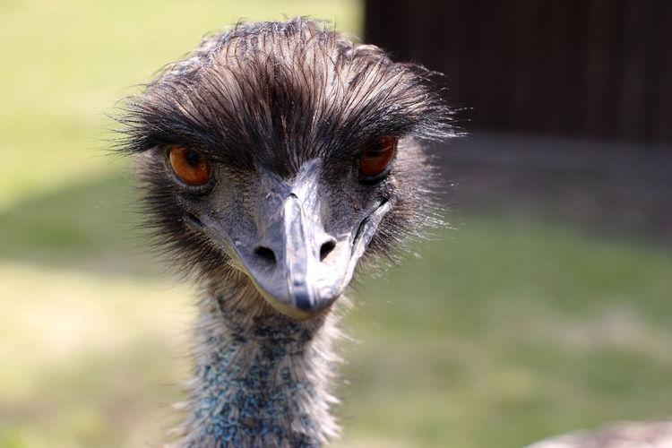 Portrait close-up of emu