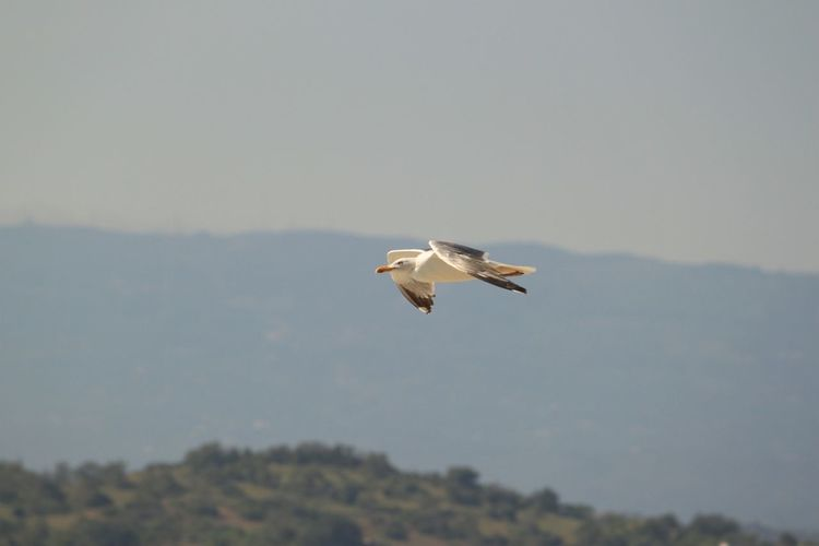 Seagull Flying Seagull Birds Motion