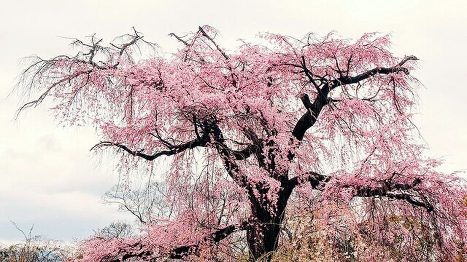 桜 Japanese Garden Cherry Blossoms Kyoto Japan Photography 円山公園にて。