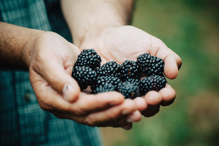 Blackberries Berry Fruit Blacberry Blackberries Food Freshness Fruit Hands Holding Selective Focus