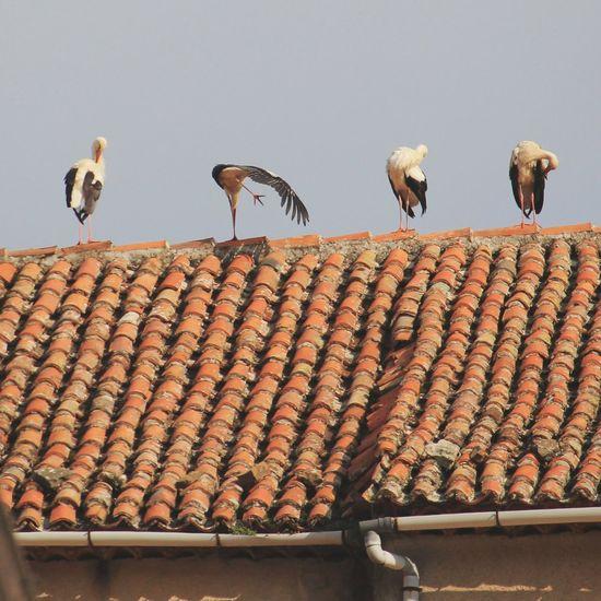 Cicogna bianca nella posizione yoga del triangolo 😊😉 Animal Themes Animal Animali Roof Tetti  Cilento Italia Italy Yoga Cicogna Whitestork Whitestorks Birds Uccello Bird Animal Themes Sky
