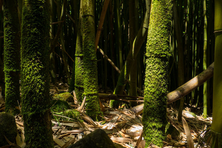 Moss covered bamboos growing on field