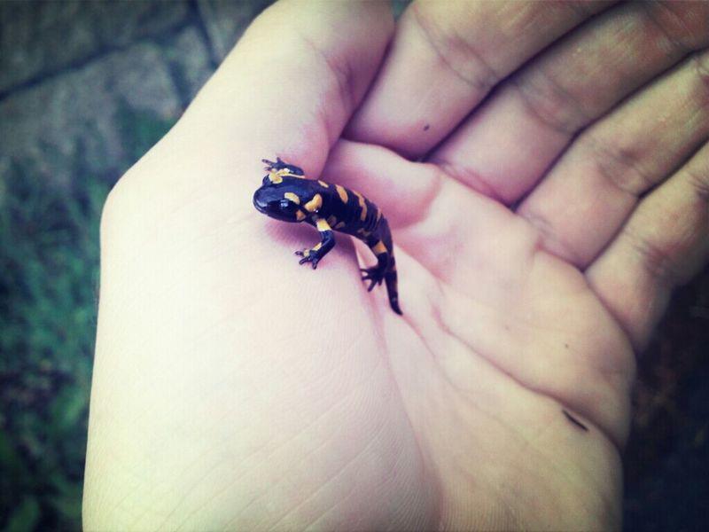 Salamandra Animals Salamander Lizards Ruta Da Pedra E Da Auga  Salamandras Lagartos Nature