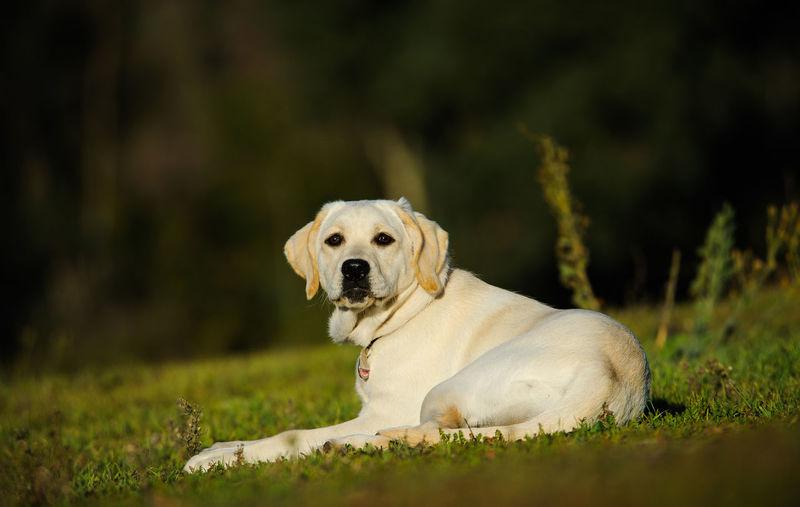 Low angle shot of labrador retriever lying on grass