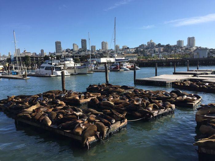 Seals resting on floating platform at harbor against sky