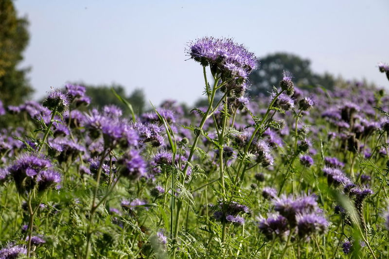 Phacelia Beauty In Nature Bienenweide Blooming Close-up Day Field Flower Flower Head Fragility Freshness Growth Lavender Nature No People Outdoors Plant Purple Thistle