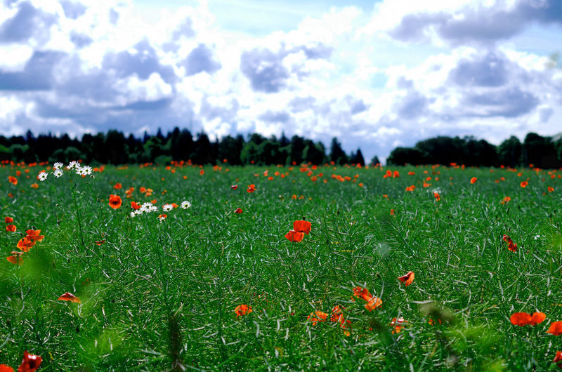 Beauty In Nature Blooming Close-up Cloud - Sky Day Field Flower Flower Head Fragility Freshness Growth Landscape Nature Navitrolla No People Outdoors Petal Plant Poppy Rural Scene Scenics Sky Tranquility