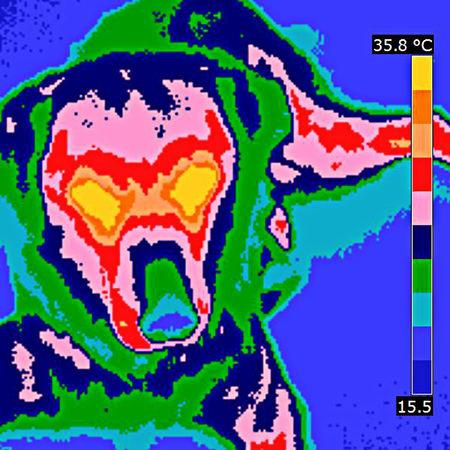 Animal Animal Photography Animal Themes Cute Dog  Cute Pet Dog Dog Head Domestic Animal Immagine Termica Pet Temperatura Temperature Thermal Image Thermal Imaging Thermal Imaging Camera Thermic Image Diagnostic Method Veterinary Science