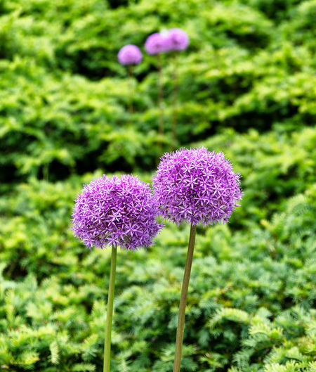 Lovely purple flowers in full bloom Beauty In Nature Bloom Close-up Field Flora Flower Flowering Plant Focus On Foreground Foral Freshness Green Color Growth Nature Plant Purple Springtime