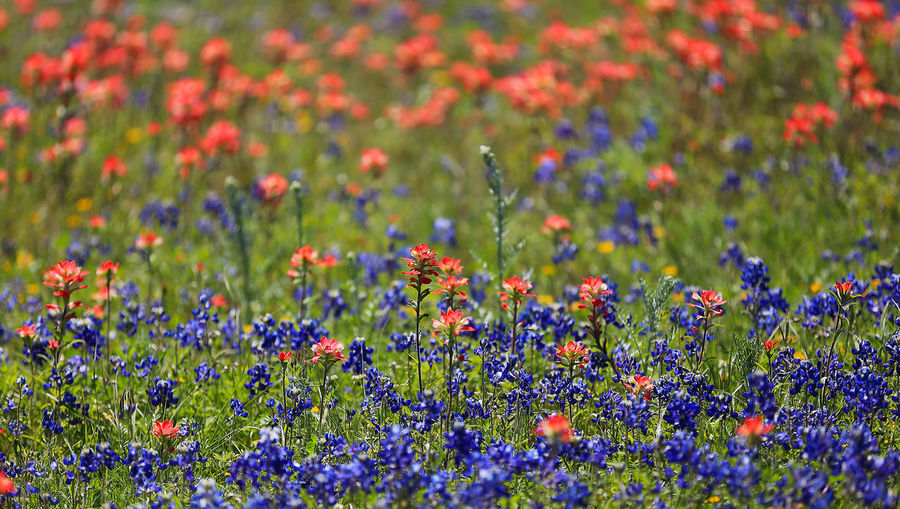 Bluebonnet and the Indian paintbrush - Texas Hill Country blooms Abundance Beauty In Nature Bloom Blooming Blooms Bluebonnets Field Flower Fragility Fredricksburg Freshness Growing Hillcountry In Bloom Indian Paintbrush Multi Colored Nature New Braunfels TX Plant Red Spring Flowers Springtime Texas Hill Country Showcase April Showcase:april