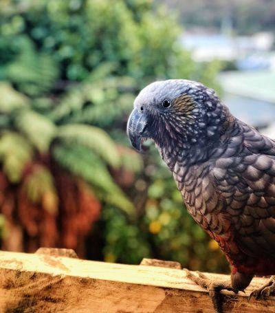 Native Bird Of New Zealand Native Birds Kaká Animal Themes Animal One Animal Animal Wildlife Animals In The Wild Bird Perching Close-up No People Outdoors Side View