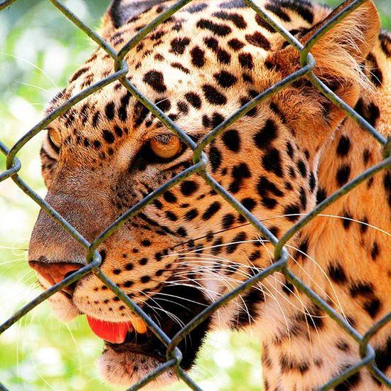 Now a bit closer - At Trivandrum Zoo, Kerala, India. Wildlife Leopard Travel Zoo Kerala Trivandrum Thiruvananthapuram Nofilter Travelogue Wanderlust
