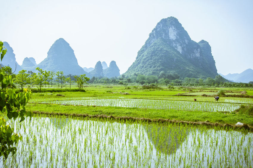Beautiful rice fields scenery in spring Agriculture Beauty In Nature Countryside Day Field Green Nature Guilin Idyllic Karst Mountain Landscape Mountain Mountain Range Nature Nature Beauty Outdoors Plant Reflection Rice Field Rice Planting Rural Scenics Springtime Tranquil Scene Tranquility Water